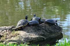 Gerade sonnende Schildkröten stockfotografie
