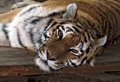 Gerade voran Ansicht eines liegenden sibirischen Tigers stockfotos