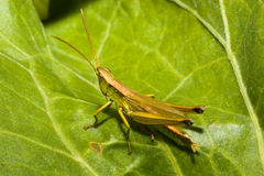 Geradflügler, Orthopteran Lizenzfreie Stockbilder