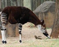 Gerafe de forêt d'Okapi Photographie stock libre de droits