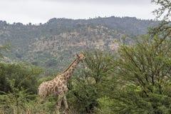 Geraffe walking inbetween the green trees. At Pilanesberg national recerve Royalty Free Stock Image