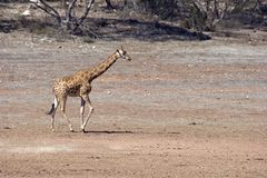 Gerald. Giraffe (Giraffa camelopardalis) in large open plains area Stock Image