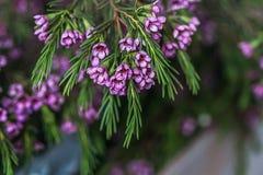 Geraldton-Wachs blüht Chamelaucium-uncinatum Stockbild
