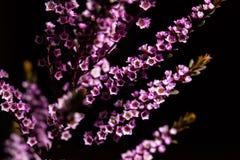Geraldton Wax - flowering plant. Chamelaucium uncinatum - Geraldton Wax - flowering plant endemic to Western Australia on black background stock photography