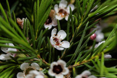 Geraldton wax flowers Chamelaucium uncinatum Royalty Free Stock Photo
