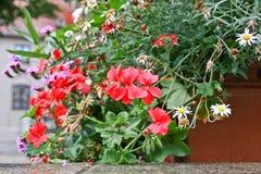 Gerani conservati in vaso rossi Fotografia Stock Libera da Diritti