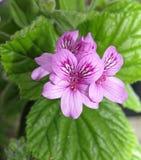 Gerani (cucullatum del pelargonium) immagini stock