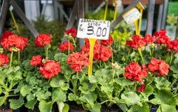 Gerani rossi a mercato di Parigi, Francia, con l'euro segno di prezzi Fotografie Stock Libere da Diritti