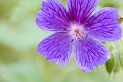 Geranio azul Imagen de archivo