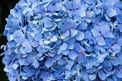 Geranio azul Fotos de archivo libres de regalías
