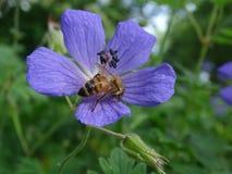 Geranio azul con la abeja Imagenes de archivo