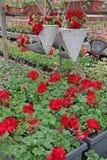 geranio Campo colorato del pelargonium con i vasi d'attaccatura Campo del geranio di edera rosso e per la vendita Vasi d'attaccat Fotografie Stock