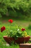 Geranio conservato in vaso   Fotografia Stock