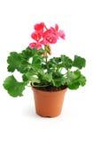Geranio conservato in vaso di rossi carmini su fondo bianco Fotografia Stock