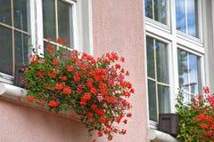 Geranio de hiedra rojo en caja de la flor de la ventana Imagenes de archivo