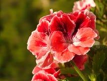 Geranio de la flor Fotografía de archivo libre de regalías