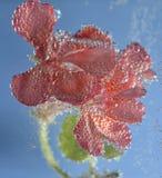Geranio de la flor Fotografía de archivo
