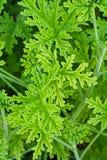 Geranio de la planta verde Imagen de archivo libre de regalías