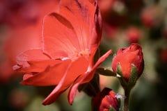 Geranio del giardino Fotografia Stock