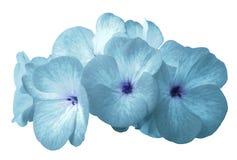 Geranio del turchese del fiore Isolato su una priorità bassa bianca Primo piano senza ombre Per il disegno fotografia stock