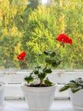 Geranio di fioritura sul vecchio finestra-davanzale fotografia stock libera da diritti