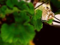 Geranio e borboleta foto de stock