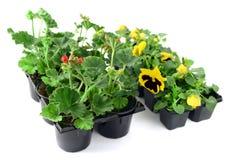 Geranio e pansé conservati in vaso in un contenitore di vassoio Giardinaggio Immagini Stock