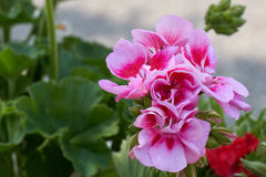 Geranio in fioritura Fotografie Stock Libere da Diritti