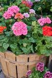 Geranio in fioritura nella scatola Fotografia Stock