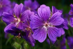 Geranio - flor de la primavera Imágenes de archivo libres de regalías