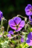geranio Flor salvaje Imágenes de archivo libres de regalías