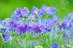 Geranio floreciente del comienzo del verano Imagen de archivo libre de regalías