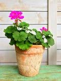 Geranio floreciente en pote de arcilla viejo Foto de archivo libre de regalías