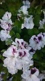 Geranio. Flower in my garden Stock Photography