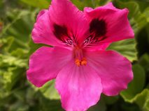 Geranio hermoso de la flor foto de archivo libre de regalías
