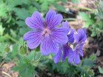 Geranio Magnificium - flor de Cranesbill fotografía de archivo