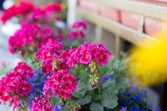 Geranio nel giardinaggio dei balconi fotografia stock