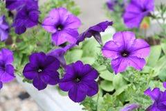 Geranio púrpura Imagen de archivo libre de regalías