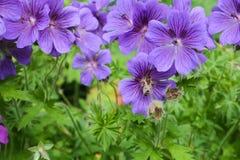 Geranio púrpura con la abeja Fotos de archivo libres de regalías