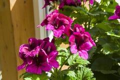 Geranio púrpura floreciente fotos de archivo libres de regalías