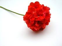 Geranio rojo Imágenes de archivo libres de regalías