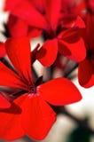 Geranio rojo Fotos de archivo libres de regalías