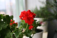 Geranio rojo Foto de archivo libre de regalías
