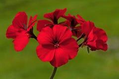 Geranio rojo de la begonia de las flores foto de archivo libre de regalías