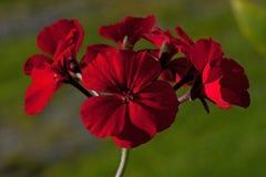 Geranio rojo de la begonia de las flores imagenes de archivo