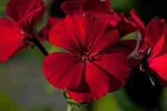 Geranio rojo de la begonia de las flores imágenes de archivo libres de regalías