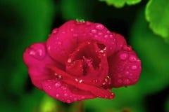 Geranio rojo de la begonia de las flores imagen de archivo libre de regalías