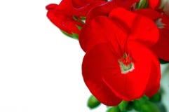 Geranio rojo en blanco Imagen de archivo libre de regalías