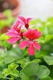 Geranio rojo en el jardín Fotos de archivo libres de regalías