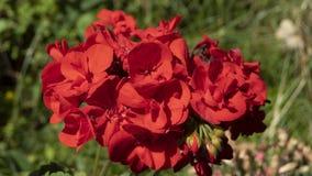 Geranio rojo florecido fotografía de archivo